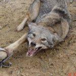 Maltraitance animale au nom du capitalisme, au nom du Néolibéralisme : La HONTE !