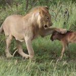 Science et vie : Un lion protège un bébé gnou. La fable le lion et le rat remise au goût du jour