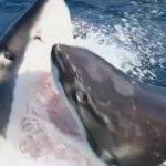 Science et vie : L'impressionnante attaque d'un requin blanc contre un autre requin