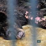 Maltraitance : Conditions de vie exécrables pour des ours dans un Zoo en Indonésie !