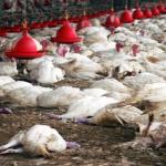 Chine Grippe aviaire: le nombre de morts explose