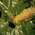 Environnement : Découverte d'une larve dévoreuse de plastique