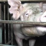 Maltraitance animale :  L214 révèle aujourd'hui les conditions de vie déplorables des cochons dans deux élevages qui fournissent la marque Hénaff