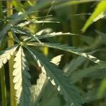 France : Le chanvre, une plante d'avenir pour les agriculteurs du sud-ouest