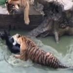 Un zoo chinois donne un âne vivant en guise de repas aux tigres