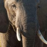 Les Etats-Unis veulent réautoriser l'importation de trophées d'éléphants