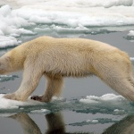 Environnement :  La vidéo dramatique d'un ours polaire mourant de faim, symbole du changement climatique