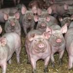 Consommation : Le porc dans tous ses états