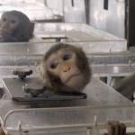 Ignominie : Des singes forcés d'inhaler des gaz d'échappement : Volkswagen présente ses excuses pour son test