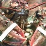 Souffrance animale : En Suisse, il est désormais interdit d'ébouillanter les homards