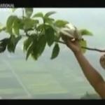 Pour rappel : Mort des abeilles, Pékin ordonne à la population de polliniser à la main