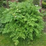 Santé publique : L'Artémisia, cette plante qui peut sauver des centaines de milliers de vies