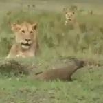 No comment : Entre les pattes d'un lion Un rat sortit de terre assez à l'étourdie.