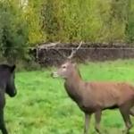 Le cerf qui murmurait à l'oreille des chevaux