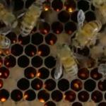 Science & Vie : Le génie des abeilles