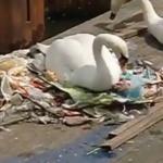 Environnement : CHOC : Un cygne filmé en train de faire son nid avec des déchets plastiques