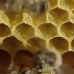 Pesticides : les conséquences de l'agriculture intensive sur les abeilles (Vidéo)