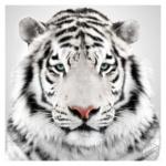 Maltraitance animale : Tout à une fin dans ce monde, y compris le tigre blanc