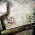 Maltraitance animale chez le plus grand producteur de viande de porc aux Etats-Unis