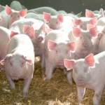 Ce soir au menu : Côtelette de porc et jardinière de légumes