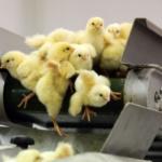 Maltraitance animale : Interdiction de broyer les poussins vivants en Suisse dès 2020