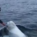 Science & Vie : Un béluga espiègle joue au rugby avec des marins au pôle Nord