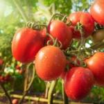Je me souviens avoir été en Grèce et avoir mangé une tomate qui avait autant de saveur qu'une bonne viande
