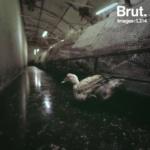 Nouvelles révélations de l'association L214 : Elevage de canards reproducteurs pour la production de foie gras